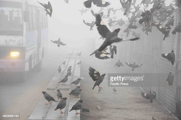 Mynah Birds scatter as traffic passes by on a cold foggy and chilly morning in Allahabad on Tuesday Many people died due to a cold front in UP