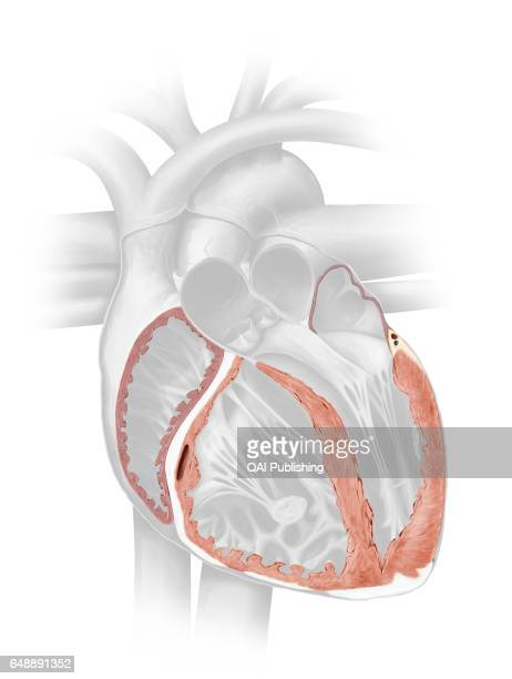 Myocardium The myocardium consists of muscular fibers that form the thickest layer of the cardiac wall