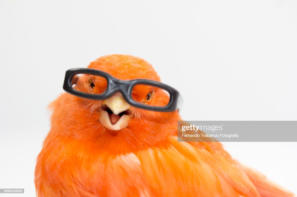Myopic canary with glasses because he sees wrong : Stock Photo