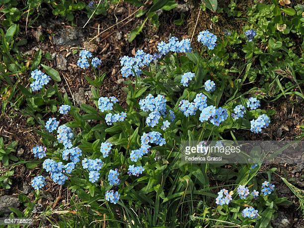 Myosotis Alpestris (Forget-me-not) In Alpine Pasture, Maggia Valley, Switzerland