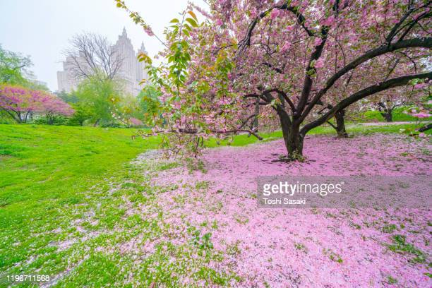 myriad of fallen cherry petals cover the lawn under the cherry trees on the lawn in central park reservoir in central park new york city ny usa on may 04 2019. - central park reservoir stock pictures, royalty-free photos & images
