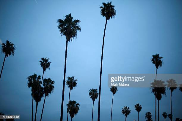 Myriad palm trees arch skyward in Los Angeles CA on February 26 2014