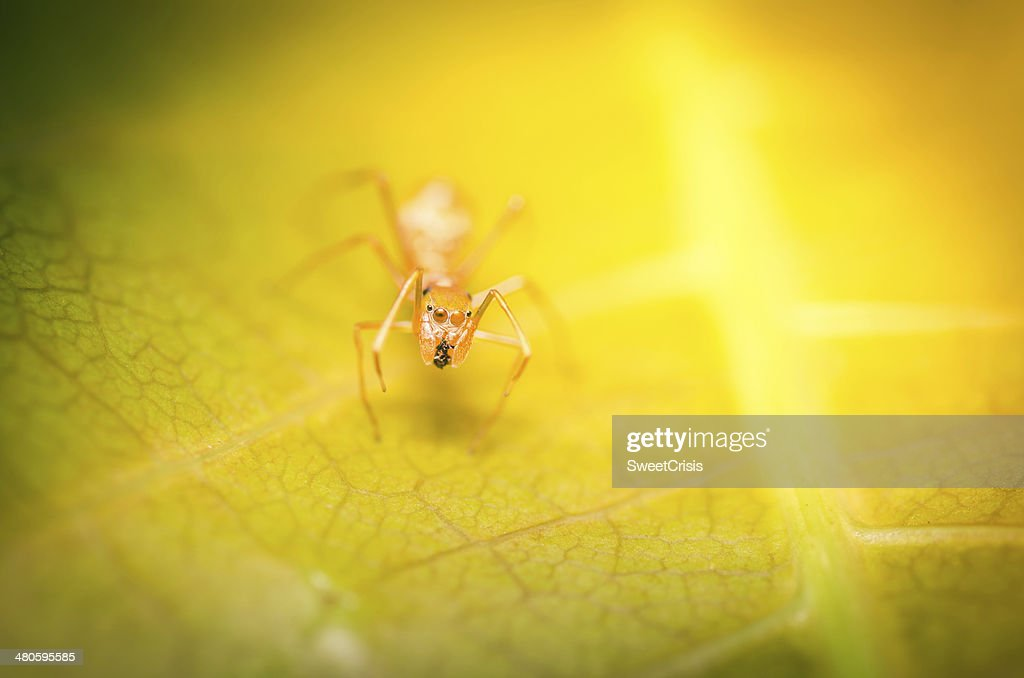 Myrmarachne Plataleoides spider : Stock Photo