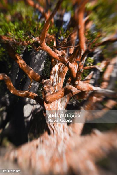 myrtle or arrayán - radicella stock pictures, royalty-free photos & images