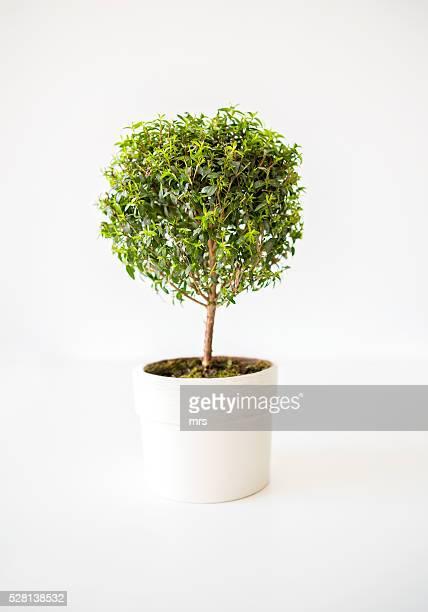 myrtle (myrtus communis) - トピアリー ストックフォトと画像