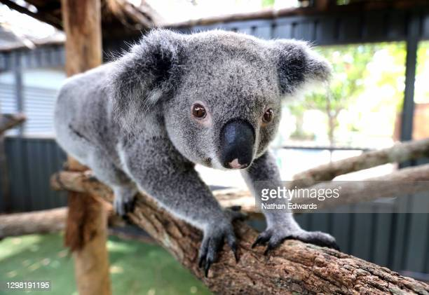 Myrtle' the koala is seen at Port Macquarie Koala Hospital as staff are hoping she is pregnant after mating 6 weeks ago, on December 2, 2020 in Port...