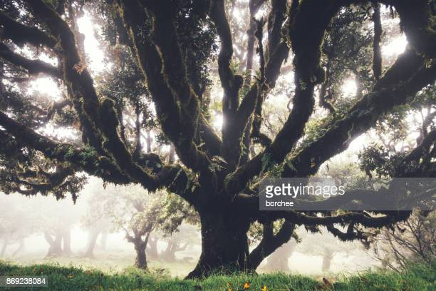 mysterious 1000 years old laurel trees on madeira island - lareira stock pictures, royalty-free photos & images