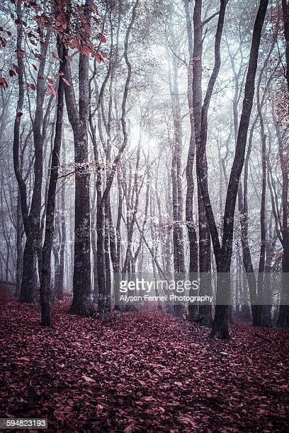 mysterious autumn woods - alyson fennell stock pictures, royalty-free photos & images