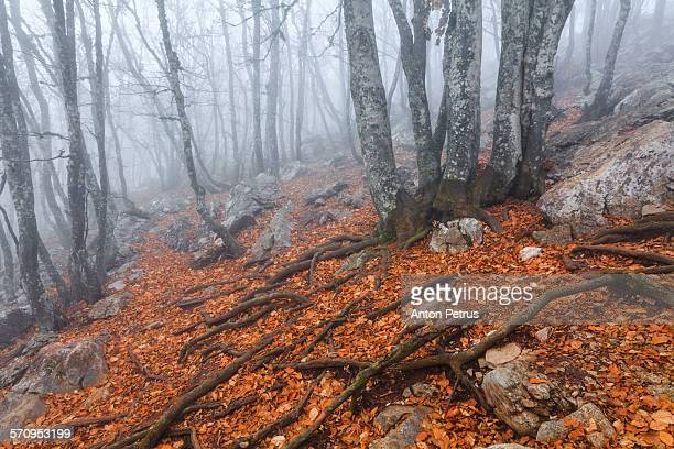 mysterious foggy autumn forest - anton petrus stock pictures, royalty-free photos & images