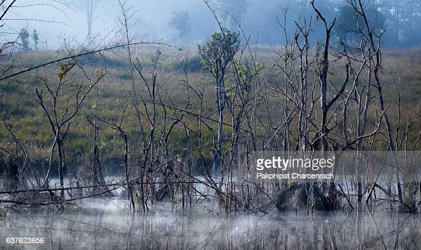 Mysterious forest and dead tree at foggy morning in swamp area.