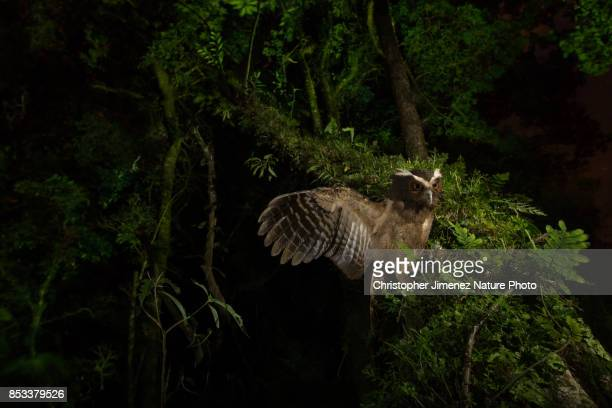Mysterious owl landing on a tree at night extending its wing