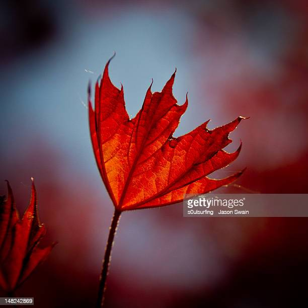 mystery maple - s0ulsurfing stock pictures, royalty-free photos & images