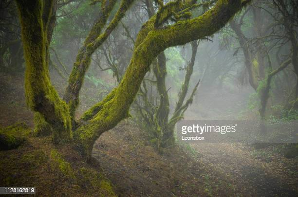 mystic mood in the rainforest. laurisilva forest on a canary island. - subtropical climate stock photos and pictures