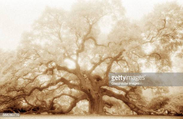 Mystical Angel Oak Tree