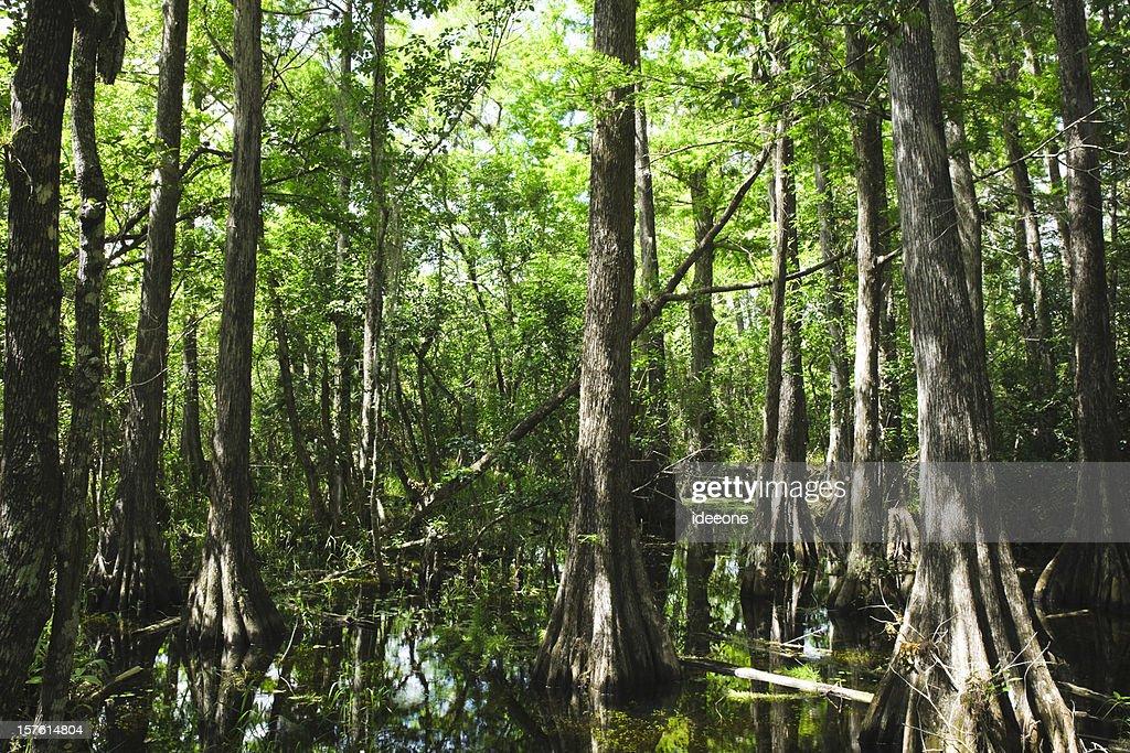 Mystical Everglades : Stock Photo