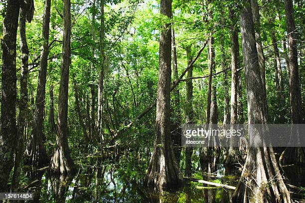mystical everglades - cypress swamp stock photos and pictures