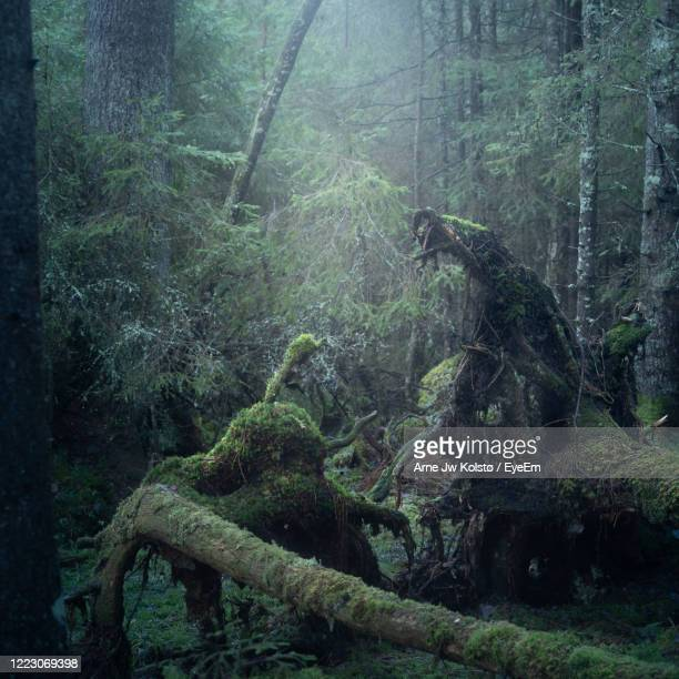 mystical forest with roots from old fallen trees, looking like a fantasy scene. - arne jw kolstø stock pictures, royalty-free photos & images