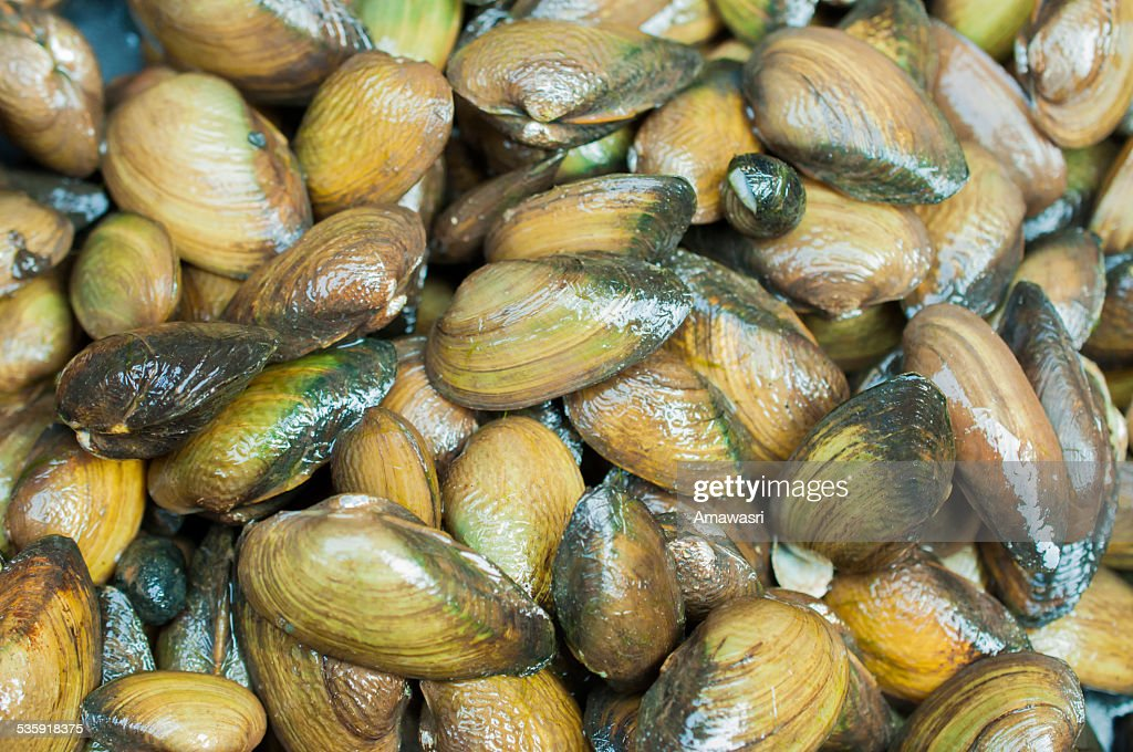 Mytilus edulis (The common or edible mussel) living on rocks : Stock Photo