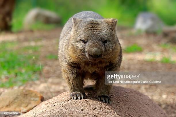 Nacktnasenwombat, (Vombatus ursinus)