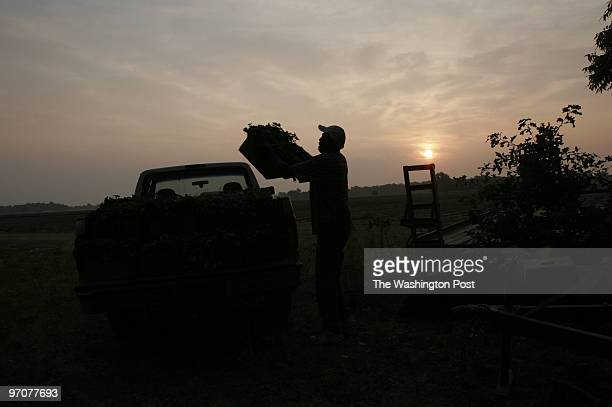 June 16, 2007 CREDIT: Carol Guzy/ The Washington Post Mound Bayou, Mississippi Rogers Morris grows sweet potatoes, soybeans and vegetables on about...
