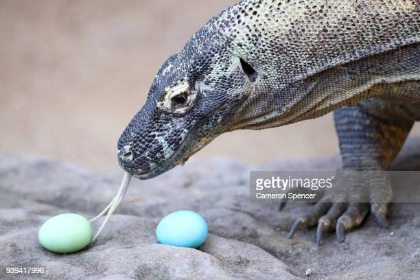 'Naga' a komodo dragon eats Easter eggs at Taronga Zoo on March 29 2018 in Sydney Australia The Easterthemed treats and enrichment were developed and...