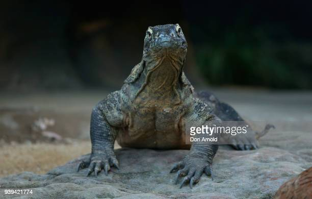 Naga the Komodo Dragon contemplates the Easter treats provided by zoo staff at Taronga Zoo on March 29 2018 in Sydney Australia The Easterthemed...