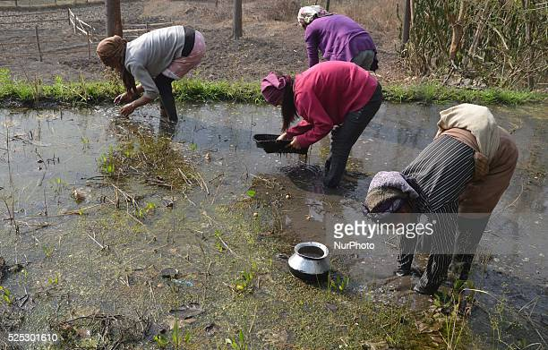 Naga women catches water insect from a water bedded paddy field for food at Khongnem Thana village in the Senapati District of the Indian north...