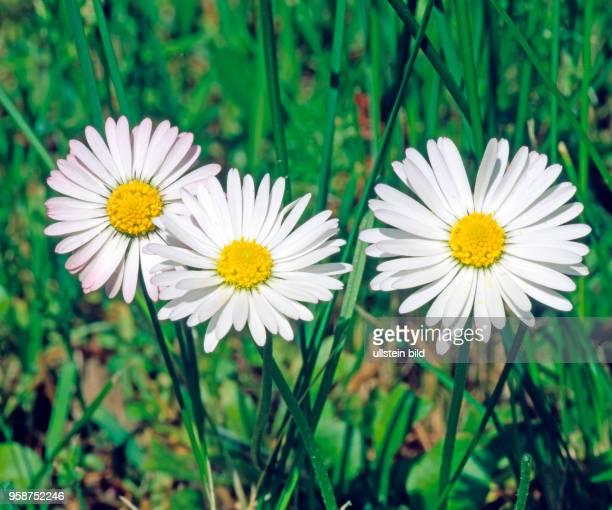 Nahaufnahme dreier Gaensebluemchen, die Heilpflanze des Jahres 2017