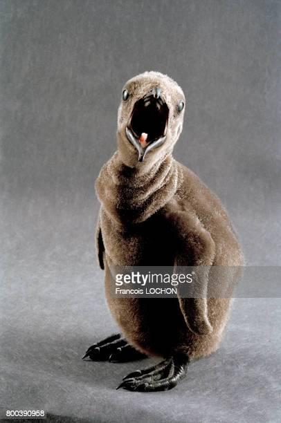 Naissance d'un bébé manchot en avril 1998 à l'aquarium Moody Gardens à Galveston au Texas ÉtatsUnis