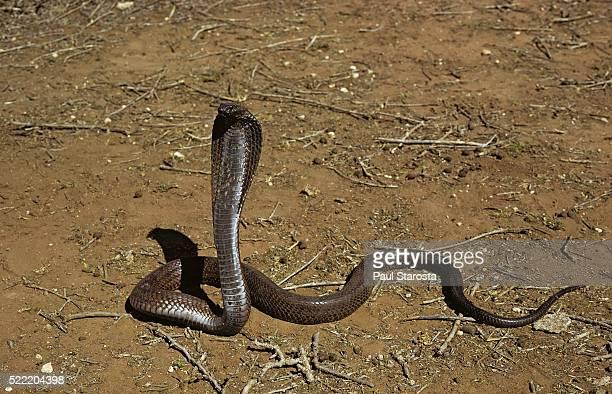 Naja haje (egyptian cobra)