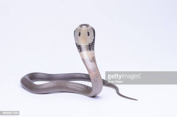Naja siamensis (Black And White Spitting Cobra, Indo-chinese Spitting Cobra, Siamese Cobra)