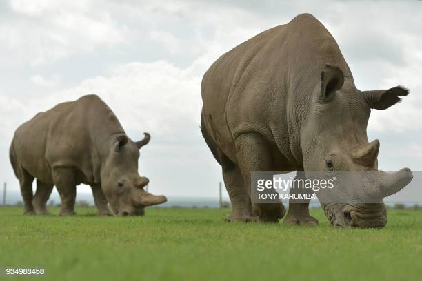 Najin and Fatu the only two remaining female northern white rhino graze in her paddock on March 20 2018 at the olPejeta conservancy in Nanyuki north...