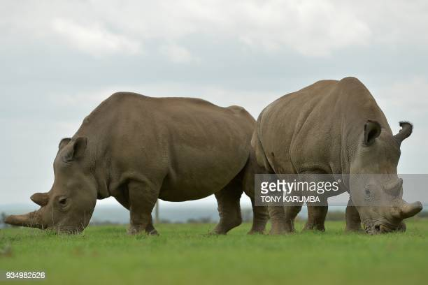 Najin and Fatu the only two remaining female northern white rhinos graze together in their paddock on March 20 2018 at the olPejeta conservancy in...
