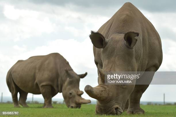 Najin and Fatu the only two remaining female northern white rhinos graze in their paddock on March 20 2018 at the olPejeta conservancy in Nanyuki...