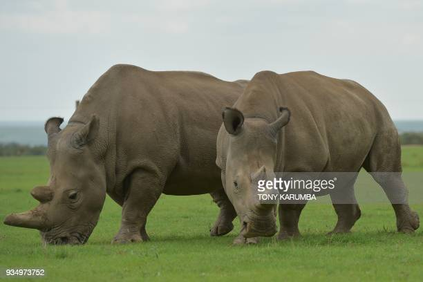 Najin and Fatu the two remaining Nothern White Rhino graze together in their paddock ON March 20 2018 at the olPejeta conservancy in Nanyuki Sudan...