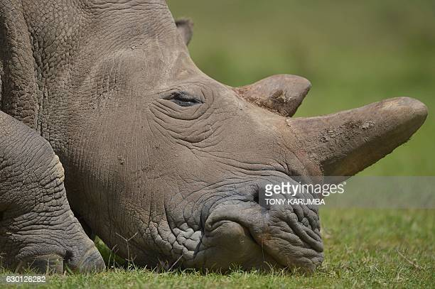 Najin the older of only two remaining female northern white rhinoceros subspecies sleeps on December 5 at the Ol Pejeta conservancy in Laikipia...