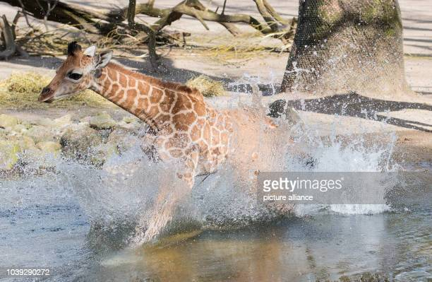 Nakuru the giraffe baby could not stop running and fell into the water during its first exploration of its outdoor enclosure in the Hagenbeck Zoo in...