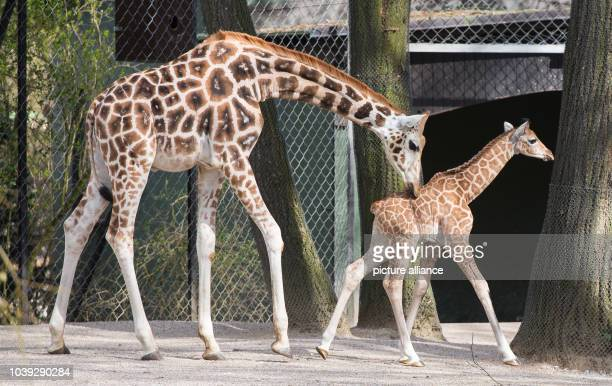 Nakuru the giraffe baby exlopres its outdoor enclosure for the first time with its brother Tamu in the Hagenbeck Zoo in Hamburg Germany 16 April 2015...