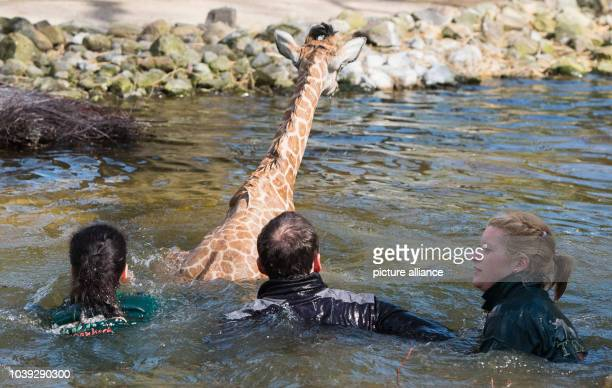 Nakuru the giraffe baby is saved from the water by biologist Claudia Bombis chief veterinarian Walter Wolter and veterinarian Jill Jensen during its...
