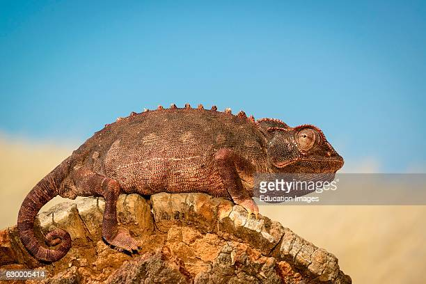 Namaqua Chameleon Desert Rhino Camp Palmwag Concession Namibia