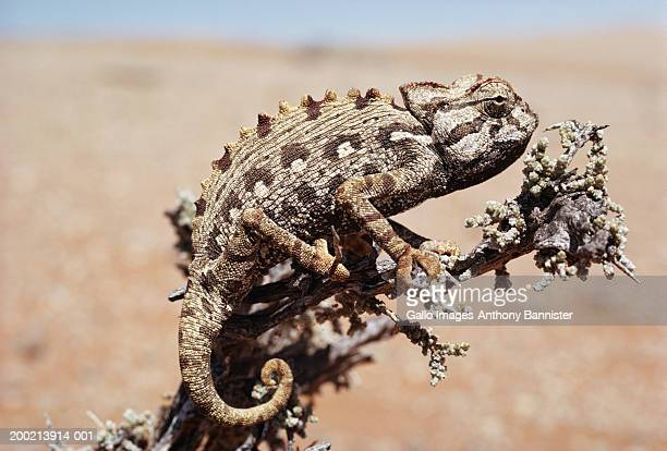 Namaqua chameleon (Chamaeleo namaquensis) on branch, side view