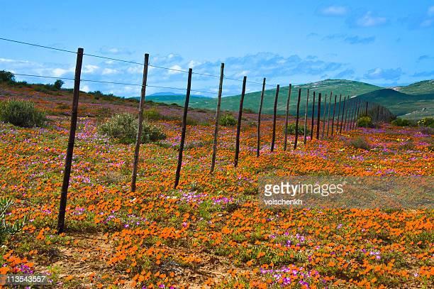 ナマクワランド花、南アフリカ - ナマクワランド ストックフォトと画像
