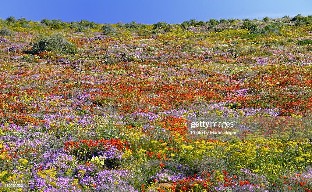Namaqualand wild flowers : Bildbanksbilder