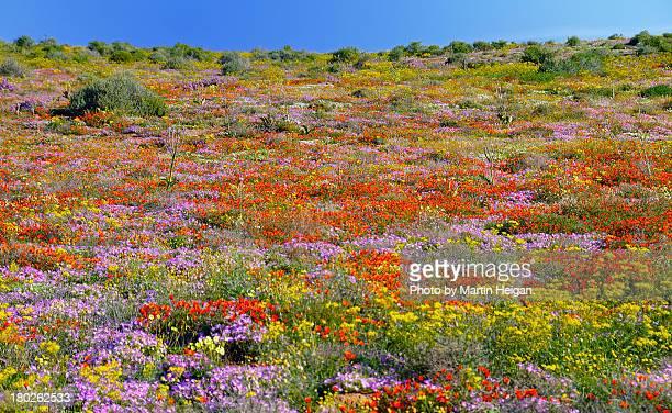 namaqualand wild flowers - ナマクワランド ストックフォトと画像