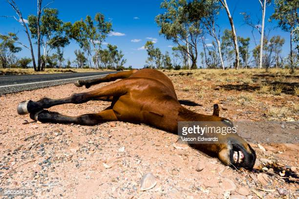 a dead wild horse known as a brumby killed by a vehicle on an outback road. - dead animal stock pictures, royalty-free photos & images