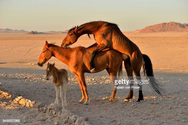 namib desert horse, wild horses (equus ferus), mating, foal, near aus, karas region, namibia - accouplement cheval photos et images de collection