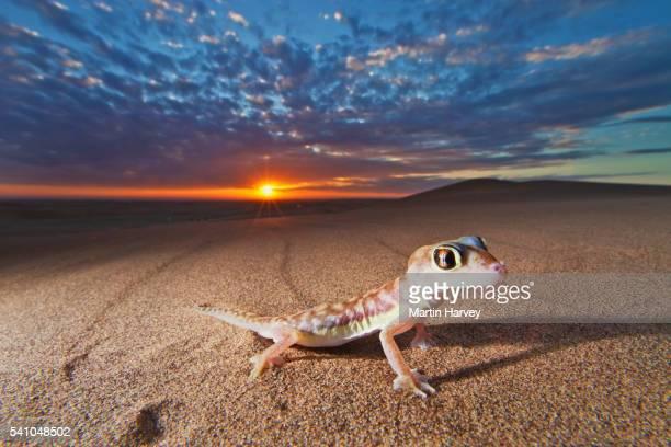 Namib web-footed gecko at sunset