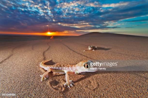 Namib web-footed geckos at sunset