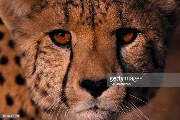 Namibia Animals Extreme close up of a Cheetahs face