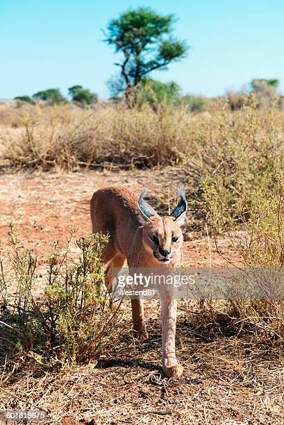 Namibia, caracal walking through bushes
